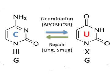 APOBEC-catalyzed DNA