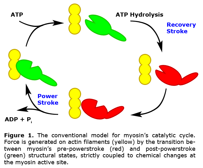 Conventional model for myosin's catalytic cycle