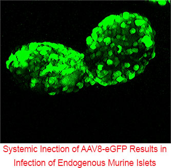 Systemic Inection of AAV8-eGFP results in infection of Endogenous Murine Islets