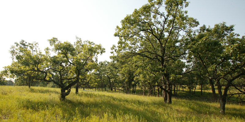 Oak trees at Cedar Creek