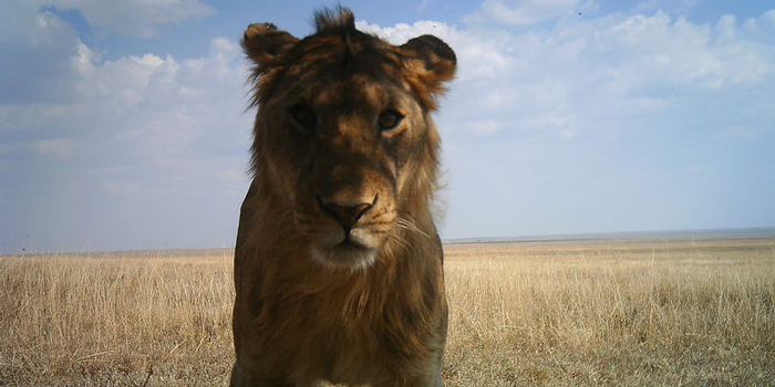 Lion staring at camera trap