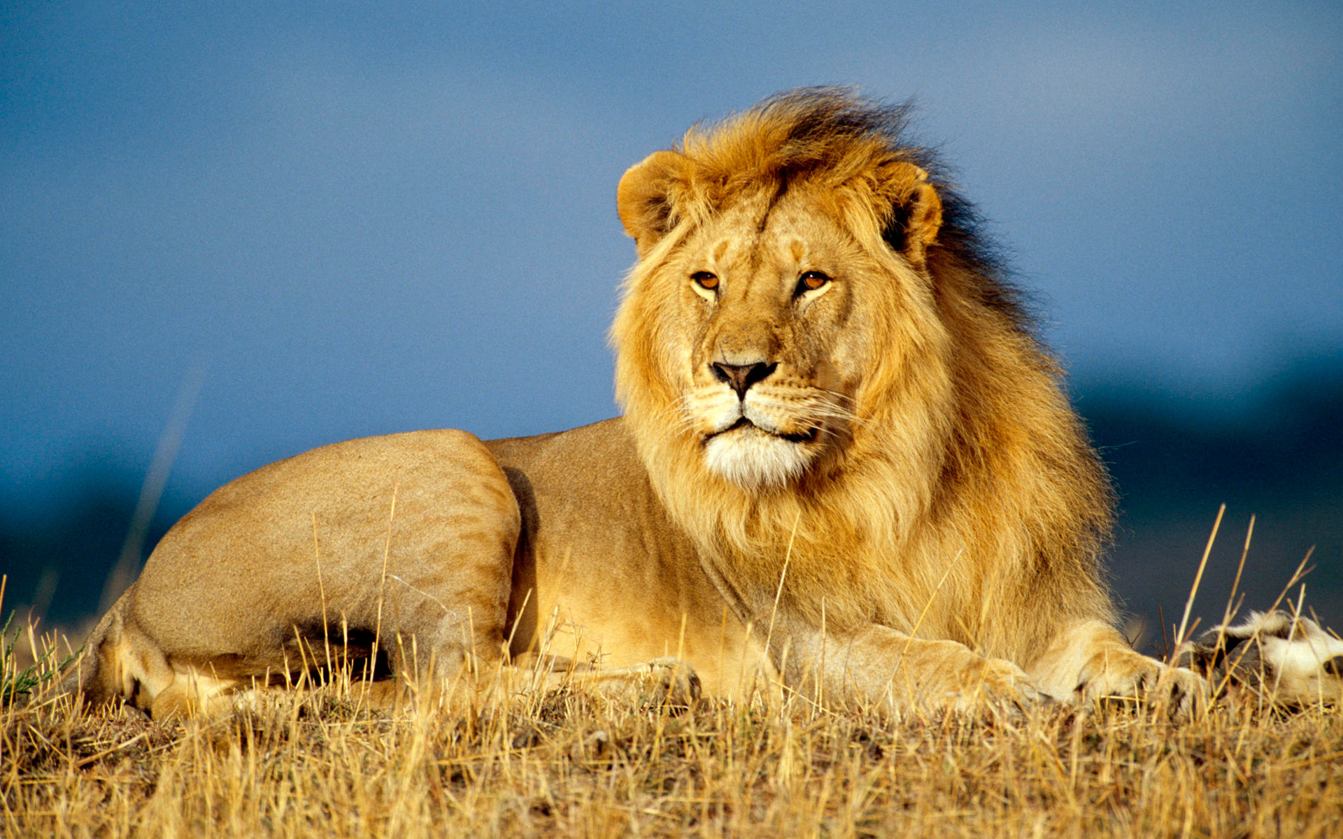 Très Beyond Cecil: Lions, Conservation, and Controversy | College of  FY77