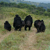 Group of chimps walking
