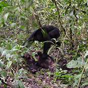 Chimps fighting in forest