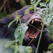Chimp showing fangs