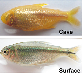 Photo of cave fish/surface fish comparison