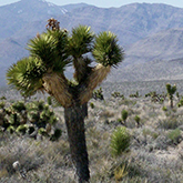 Joshua tree, Tikaboo Valley, Mojave Desert