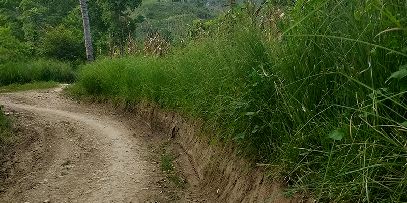 Vetiver stabilizing road